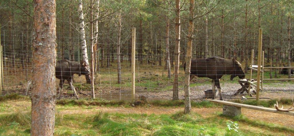 Dalsland Moose Ranch - Elchfarm in Schweden