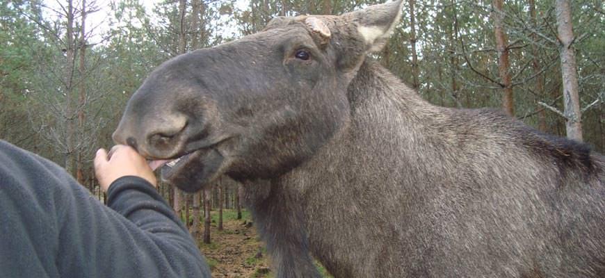 Dalsland Moose Ranch - Elch leckt Hand